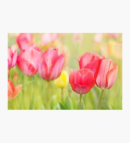 Artistic Tulips Photographic Print