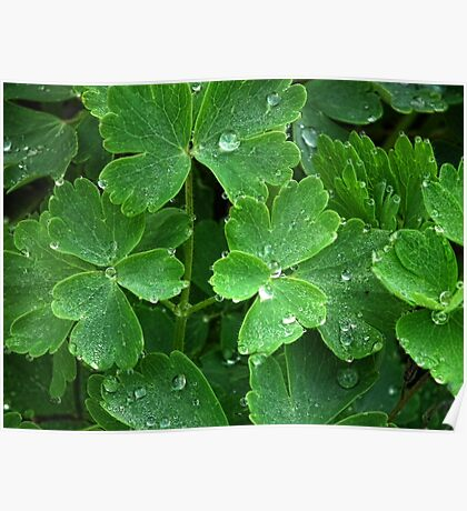 Pretty Raindrops On Green Leaves Of Aquiliga Poster