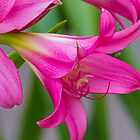 Pink Lillies by BGSPhoto