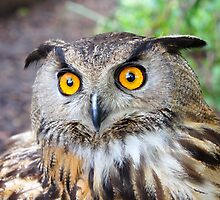 Eagle Owl by John (Mike)  Dobson