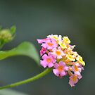 Lantana by TheaShutterbug