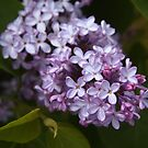 Lilac - SOOC by Linda  Makiej
