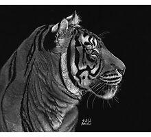 Siberian Tiger Photographic Print