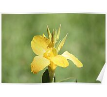Canna Cluster Poster