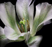 One Tulip... by EbyArts
