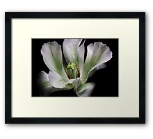 One Tulip... Framed Print