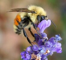A Beautiful Little Bumble Bee by Betsy  Seeton