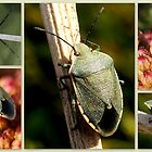GREEN SHIELD BUG by Betsy  Seeton