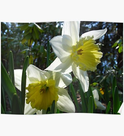 Daffodil concerierges Poster