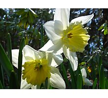 Daffodil concerierges Photographic Print