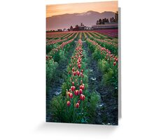 Skagit Tulips at Dawn Greeting Card