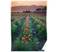 Skagit Tulips at Dawn Poster