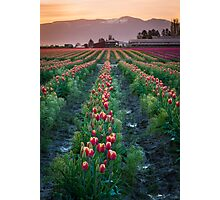 Skagit Tulips at Dawn Photographic Print