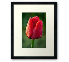 Dewey Tulip Framed Print