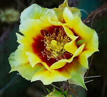 Black-Spined Prickly Pear  by Saija  Lehtonen