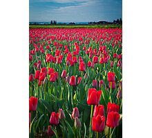 Mount Vernon Tulips Photographic Print