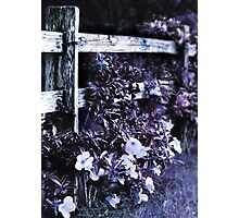 Purple blossum Photographic Print