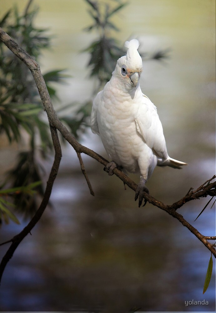 Little Corella by yolanda