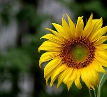 Sunflower Volunteer by Carolyn  Fletcher