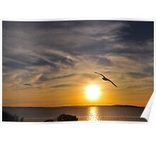 Pacific Gull in the sunset Poster