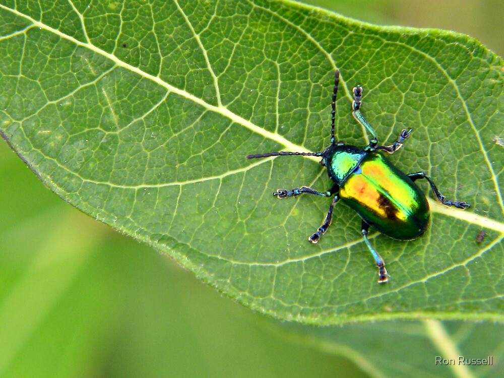 Me and My Canon S5IS Mirrored on a Japanese Beetle by Ron Russell