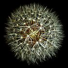 Dandelion seeds by DavidCG