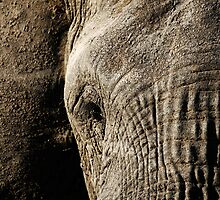 Close-up Portrait of a Large Male Elephant by Michael Deeble