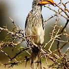 African Orange Horn Bill in a Thorny Tree by Michael Deeble