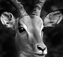 Portrait of an Impala in Black and White by Michael Deeble