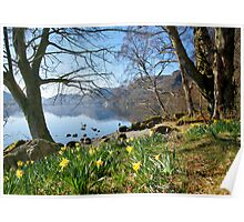 Daffodils at Wordsworth Point, Ullswater Poster