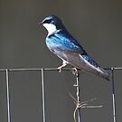Tree Swallow ~ by Renee Blake
