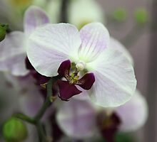 White violet orchid II by Rossen Stanoev