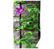 Single Bloom on a Trellis Poster