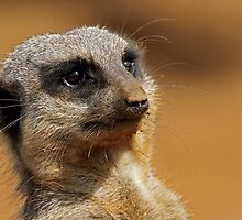 Mr Meerkat by Mark Hughes