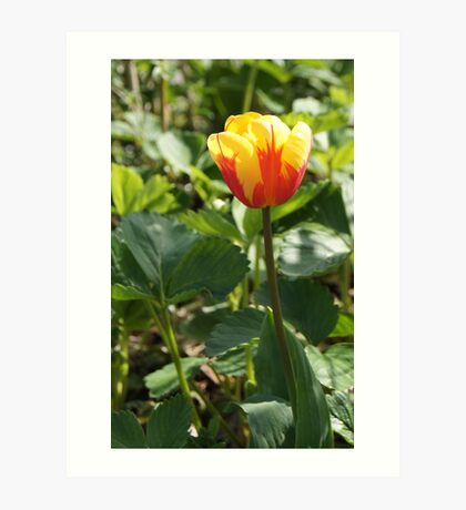 Yellow Tulip with a Touch of Red Art Print