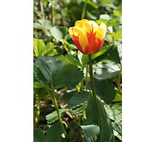 Yellow Tulip with a Touch of Red Photographic Print
