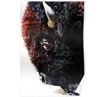 Bison Upclose of Face  Poster