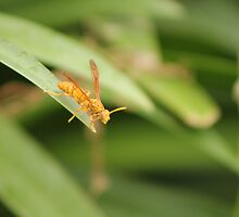 A Yellow Paper Wasp (Polistes Flavus) in Fiji. by MissKat77