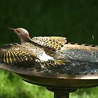 Flicker in the birdbath by rmks