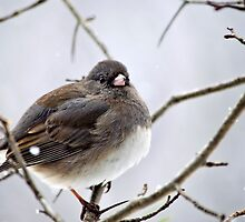 Dark Eyed Junco by Christina Rollo