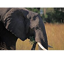 Elephant Feeding Photographic Print