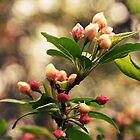 Crabapple Blossoms by Shannon Ferguson