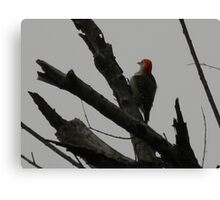 Red-Bellied Woodpecker Looks a Little Plump Canvas Print