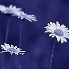*Wild Daisies in Blue-ooh-ooh-ooh* by Darlene Lankford Honeycutt