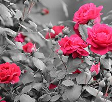 Beauty Of Roses by DonCondley