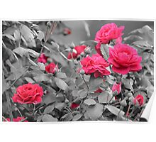 Beauty Of Roses Poster