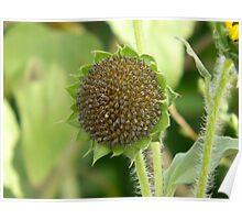 Sunflower, No Petals - Sunflower Seeds Poster
