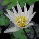 Water Lily by Dalmatinka