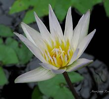 Water Lily by Dalmatinka