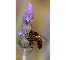 """Lavender Pollen Outlet"" Photographic Print"